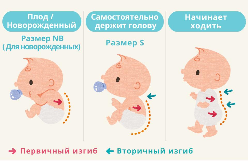 Плод / Новорожденный Для новорожденных Самостоятельно держит голову Размер S Начинает ходить Первичный изгиб Вторичный изгиб
